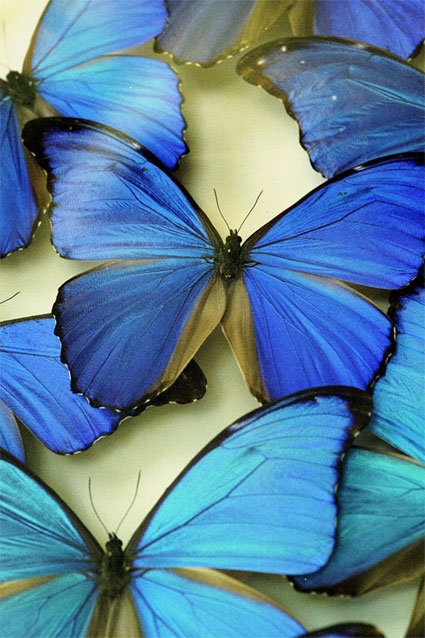 deep blue butterflies