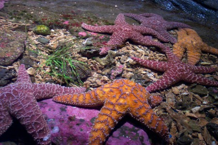 animals-starfish-underwater-aquarium-desktop-free-wallpaper