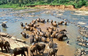 Pinnawela-Elephant-Orphanage
