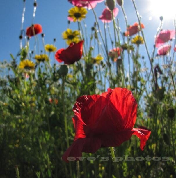 wild poppy full photo