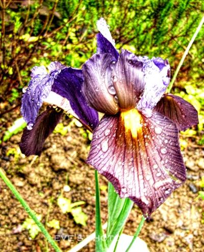 rainy day iris