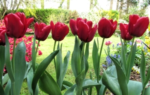 My patio tulips