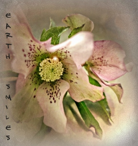 Hellebores from my garden