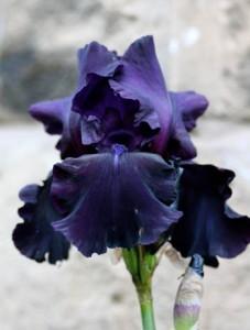 Black Iris - Karen Platt's Blog