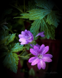 Wild Geranium growing under the tree