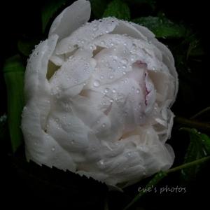 White Peony