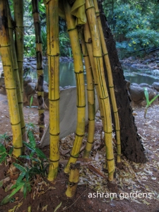 Bamboo in the garden. The garden is the heart of the Ashram in Puttparthi