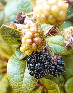 Blackberries growing under the hedge