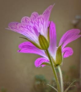 geranium1