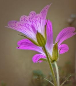 geranium1