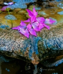 Petals in the fountain - by Eve