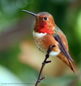 Allens_Hummingbird
