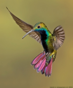 hemmings_Green-Throated-Mango-6-web