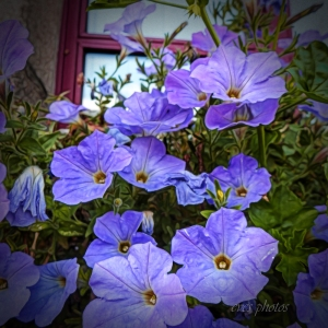 The Window Box flowers, Quintin, Fr.