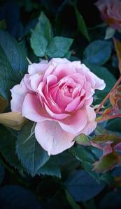 my favourite rose so far. taken in a florist shop in france
