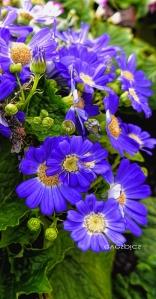 little blue alpines