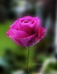 the Rose from the window box - today