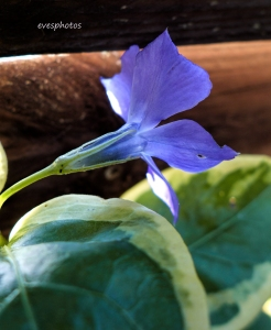Vinca Major - found it growing at the very back of the garden