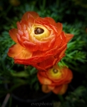 orangeflower8