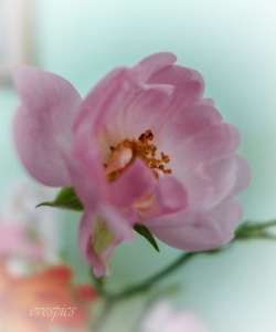 Wild Rose - from the vase in the kitchen