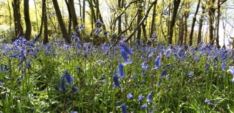 bluebells in Kent, UK Winter 2016